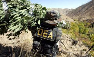 DEA officer carrying marijuana plants