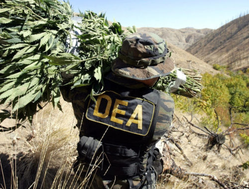 DEA officer carrying marijuana plants
